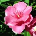 laurier-rose-fleur-rebigue
