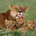 animal-family-lions