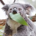 koala-mignon-photo-8