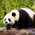panda_geant_2_600