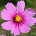 cosmos-bipinnatus-fleur-mauve