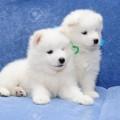 13798197-chiots-mignons-de-chien-samoyède-également-connu-sous-le-nom-bjelkier