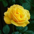 rose-jaune-1